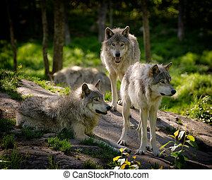 tres, oriental, madera, lobos, Paquete