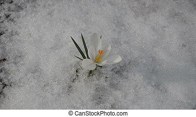 saffron crocus snow