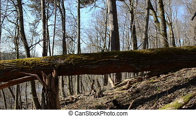 girl fallen tree trunk - girl cautiously goes big old fallen...