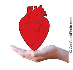 human red heart in hand