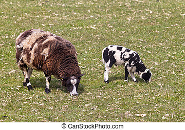Sheep with lamb - Stained sheep in the field with lamb in...