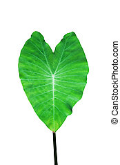 Heart shaped leaf, isolated