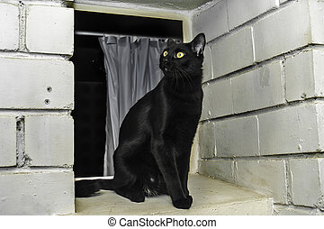 Bombay breed cat - Young black cat on a window, Bombay breed