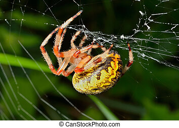 Garden-spider on spider-web 6 - A close up of the spider...