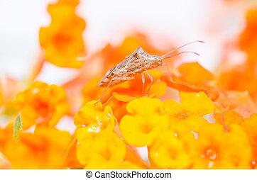 hemiptera, amarillo, flor