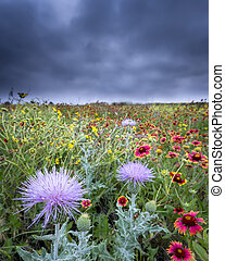 Texas Wildflowers - Bull thistle flowers against a...