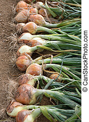 Ripe onion harvest on field - Rows of ripe dug organic...