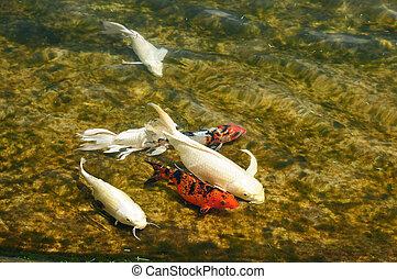 Carp fish - Colorful carp fish in water