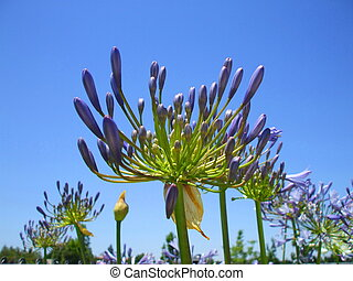 Agapanthus Flowers - Agapanthus flowers on a sunny day