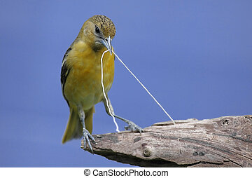 Baltimore Oriole Icterus galbula gathering string to build a...