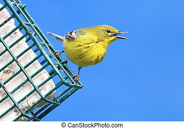 Pine Warbler Dendroica Setophaga pinus on a feeder in early...