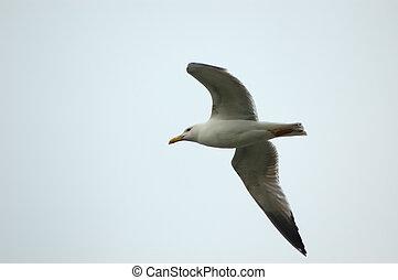 Seagull (Larus michaelis) - seagull (Larus michaelis) in...