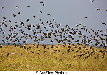 flock of birds - nature series: flock of birds in summer