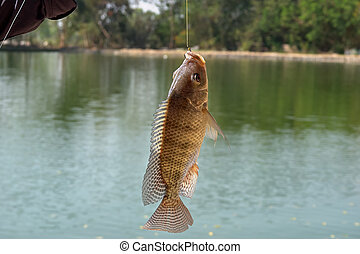 Nile tilapia Oreochromis niloticus - object of sport fishing...
