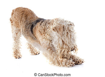lakeland terrier in front of whie background