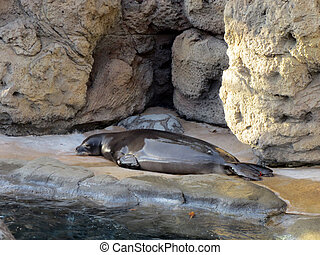 Monk Seal rest at the Waikiki Aquarium - Monk Seal rest on...
