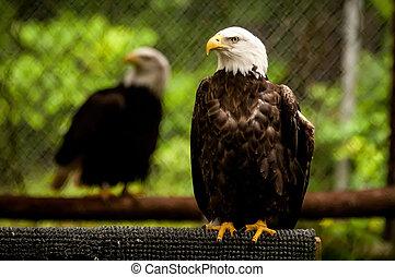 bald head eagle - bald headed eagle portait closeup