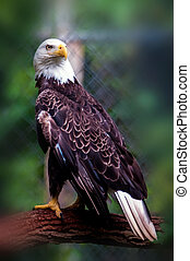 bald head eagle - bald headed eagle portait closeup