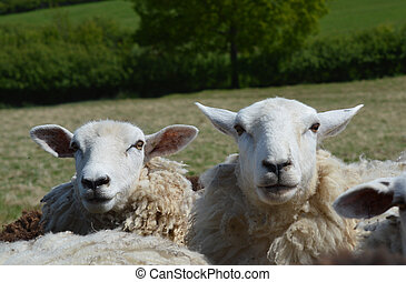 The Faces of Two Romney Sheep