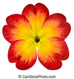 rouges, primevère, fleur, jaune, centre,...