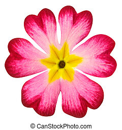 Pink Primrose Flower with Yellow Center Isolated on White...