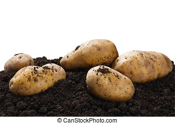 dug potatoes on the ground on a white - dug potatoes on the...