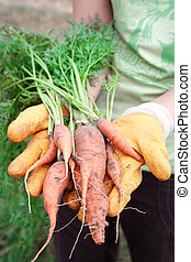 Kitchen garden - Female hands hold a fresh carrots