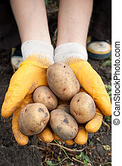 Kitchen garden - Hands of the girl hold a fresh potato