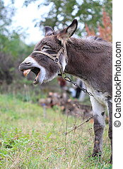 Donkey - A donkey showing his teeth and braying