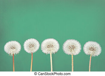 dandelion fluff on teal - danelion fluff or seeds on a teal...