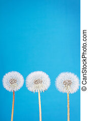 dandelion fluff on blue - danelion fluff or seeds on a blue...