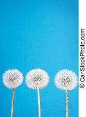 dandelion fluff on blue - danelion fluff or seeds on a blue...