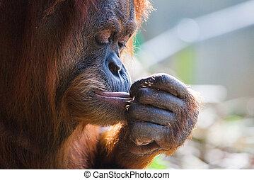 Orangutan - A pensive orangutan in Melbourne, Victoria,...