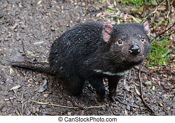 Tasmanian Devil - An inquisitve Tasmanian Devil in Cradle...