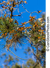 Monarch Butterfly Migration - Monarch Grove, Pismo Beach...