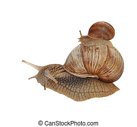 Garden snail Helix aspersa isolated on white