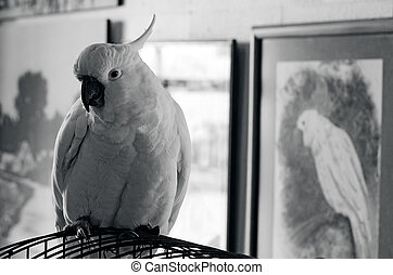 Cockatoo parrot - Portrait of a Cockatoo parrot sit on his...