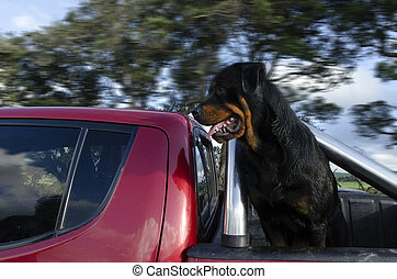 Rottweiler Dog - Profile portrait of an adult male purebred...