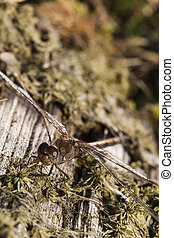 dragonfly - dragongly - macrophoto