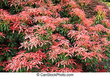 Pieris Japonica 'Red Head' Red Head Pieris, close up