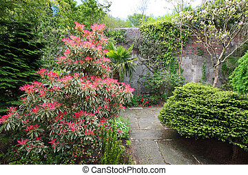 Pieris Japonica 'Red Head' Red Head Pieris in the garden