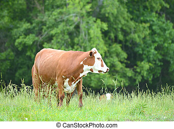 Cow in a green pasture