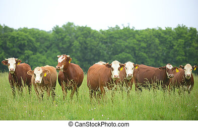 Cows in a field lined up