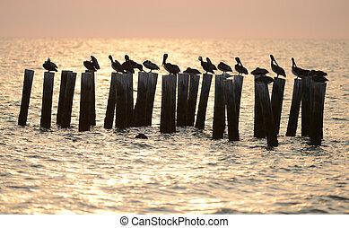 pelícanos, Océano, salida del sol