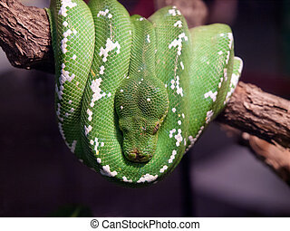 green tree python - Emerald boa is a non-venomous boa...