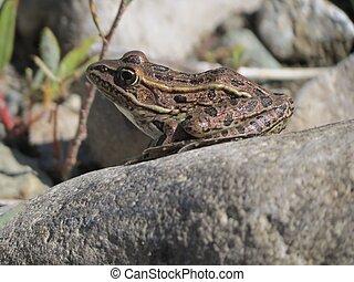 Leopard Frog