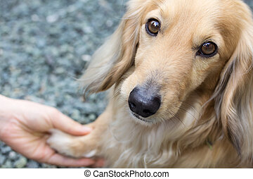 Friendship between human and dog - shaking hand and paw...