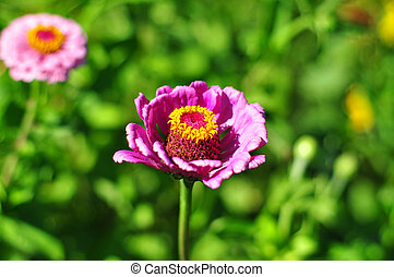 Beautiful purple Dahlia flower with Yellow Center against green