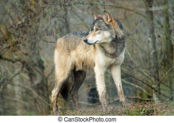 Grey Wolf Looking into Distance - Grey wolf, Canis Lupus...