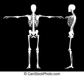 Standing skeletons - skeleton white isolated on black made...